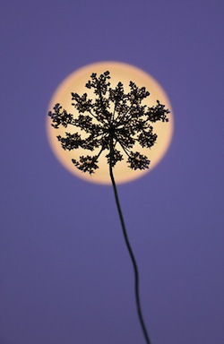 Queen Anne's Lace and Moon