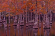 Autumn Cypress Trees - Watson Mill Pond, Georgia