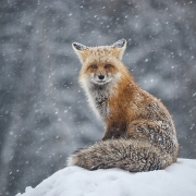 Colorado Red Fox - Aspen, Colorado USA