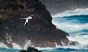 Red-billed Tropicbird - Galapagos Islands