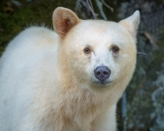 Portrait of a Spirit Bear - Great Bear Rain Forest in British Columbia
