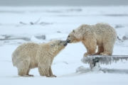 Polar Bear cubs and bench - Kaktovik, Alaska
