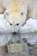 Polar bear reflection - Kaktovik, Alaska