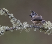 Crested Tit - The Highlands, Scotland