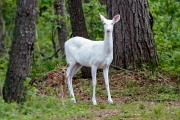 Albino Whitetail Doe with fawn - Boulder Junction, Wisconsin