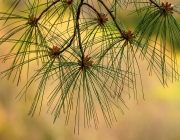 Longleaf Pine - Johnson County, Illinois