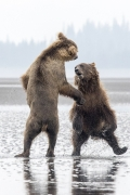 Bear dance - Silver Salmon Creek, Alaska