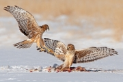 Northern Harriers Fighting Over Food - Pawnee National Grasslands
