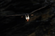 In-Coming: Tufted Puffin Heading to Sea - Kodiak Is., Alaska, near Port Lions