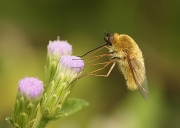 Bee Fly nectaring on Crucita - Bentsen-Rio Grande Valley State Park, Texas