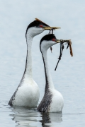 A Grebe Courtship - Barr Lake State Park, Colorado