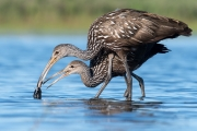 Limpkin Learning - Sarasota, Florida
