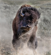 Bison Bull Dust Off - Larmar Valley Yellowstone Park, Wyoming
