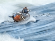 Steadfast Harlequin Duck - Yellowstone National Park