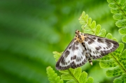 Small Magpie Moth - Formby, Merseyside, UK