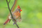 Mrs. Cardinal's Feathers - Brendon Woods Metro Park, Columbus, Ohio