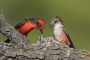 Vermilion Flycatchers at Nest - South Texas