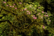 rhododendrons in moss - Jedediah Smith SP, CA