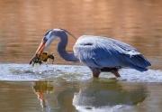 Great Blue Heron with Fish Catch - Lakewood, CO