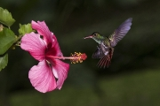 Rufous tailed Hummingbird - Costa Rica