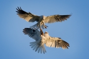 White-tailed Kite food exchange - San Luis Obispo county, CA