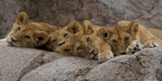 A Pile of Lions - Serengeti national Park, Tanzania