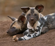 African Wild Dog Pups - KwaZulu Natal, South Africa