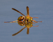 Paper Wasp Reflection - Rio Grande Valley, South Texas