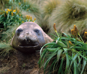 Elephant seal at rest beside Bulbinella rossii plants. - Campbell Island, New Zealand sub-Antarctic.