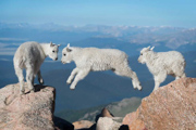 The three amigoats! - Mount Evans, Colorado