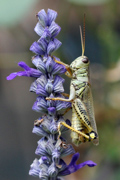 Grasshopper on Blue Salvia - My Garden, Denver, CO