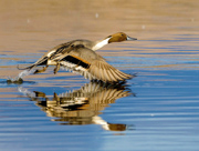 Northern Pintail with Reflection - Bosque del Apache National Wildlife Refuge