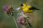 Goldfinch - Cherry Creek State Park