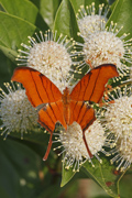 Ruddy Daggerwing on Buttonbush - Snake Warriors Island Natural Area; Miramar, Florida