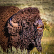 Bull Bison Portrait - Lamar Valley Yellowstone Park