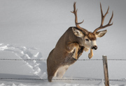 Mule Deer Buck Jumping Fence - Upper Clarks Fork of the Yellowstone River