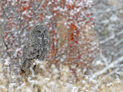 Great Gray Owl - Northern WY