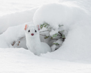 Ermine - Madison River, Yellowstone National Park, Wyoming