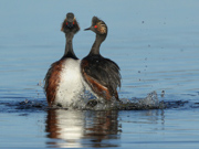 Eared Grebes dancing in courtship behavior DI3A8019a - Arapahoe Wildlife Refuge