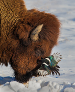 Bison and Magpie - Rocky Mountain Arsenal NWR
