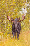 Moose on a Stroll - Bridger-Teton National Forest, Wyoming