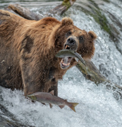 Open Wide - Brooks Falls, Katmai National Park, Alaska