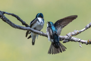 Tree Swallow Interactions - Grand Teton National Park, Wyoming