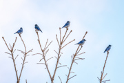 Bluebirds Of Happiness - Confluence Park, Delta, CO