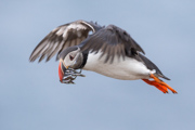 Puffin Flight One - Iceland