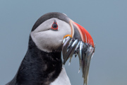 Puffin Fish Face - Iceland