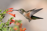 Broad-tailed Hummingbird and bug - Audubon Center at Chatfield, Littleton, Colorado