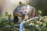 American Pine Marten 2 - snowy range, carbon county wyoming