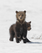 Snow Pause - Greater Yellowstone Ecosystem