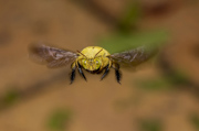 Carpenter Bee - South Africa
